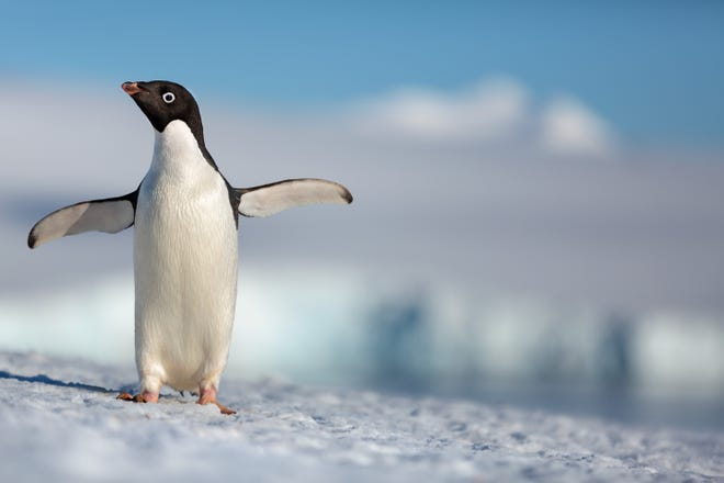 """Penguins"" is a coming-of-age story about an Adélie penguin named Steve who joins millions of fellow males in the Antarctic."
