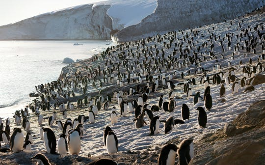 """""""Penguins"""" focuses on the Adélie penguins of Antarctica."""