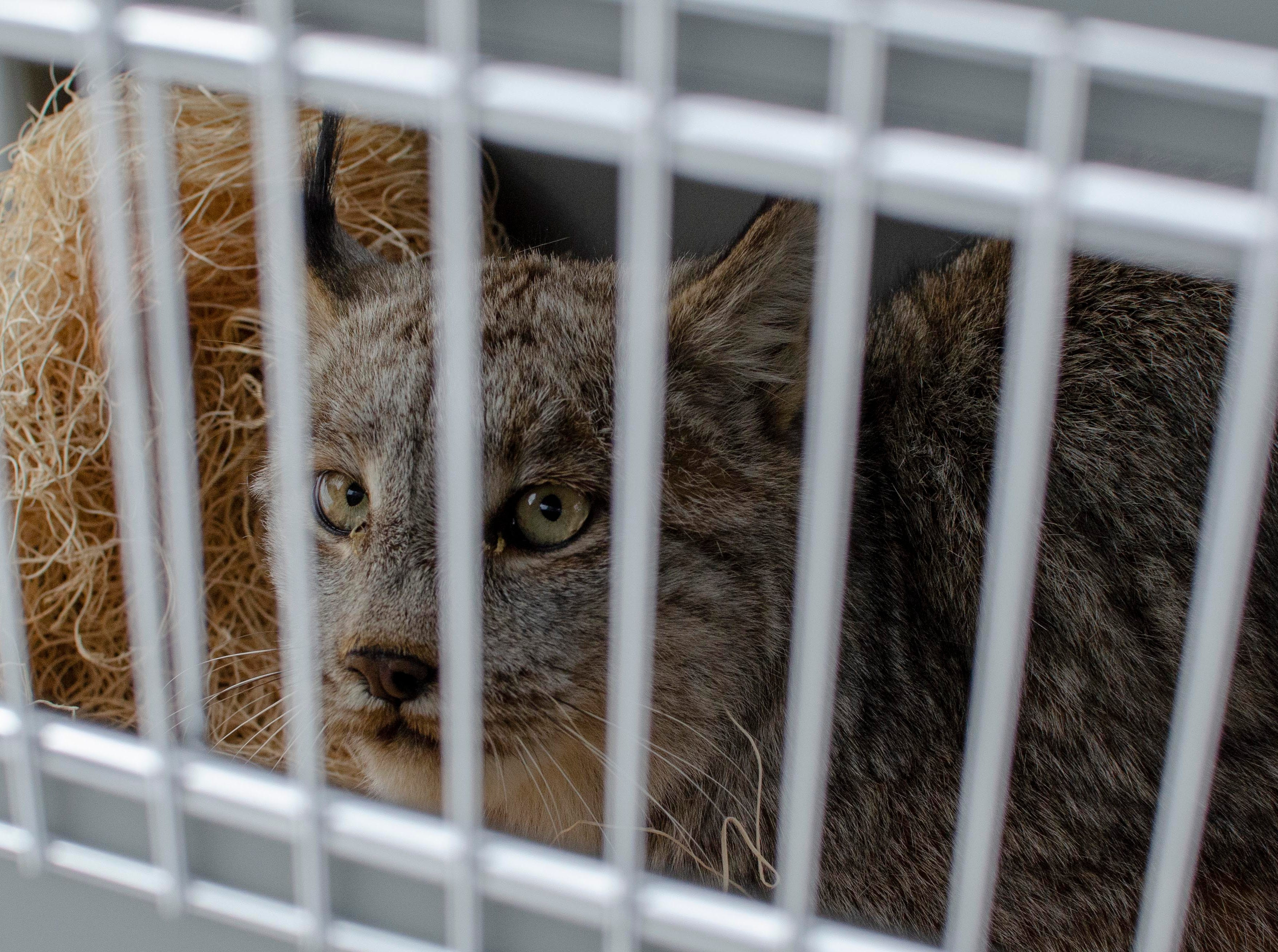 A female Canada lynx looks out of a wildlife carrier just before being released safely to the wild.