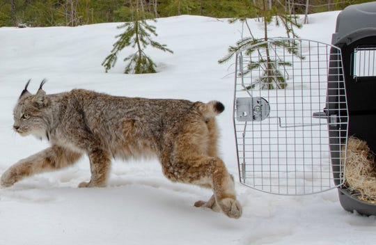 With a cautious glance, a female Canada lynx walks free from a wildlife carrier into a Schoolcraft County forest.