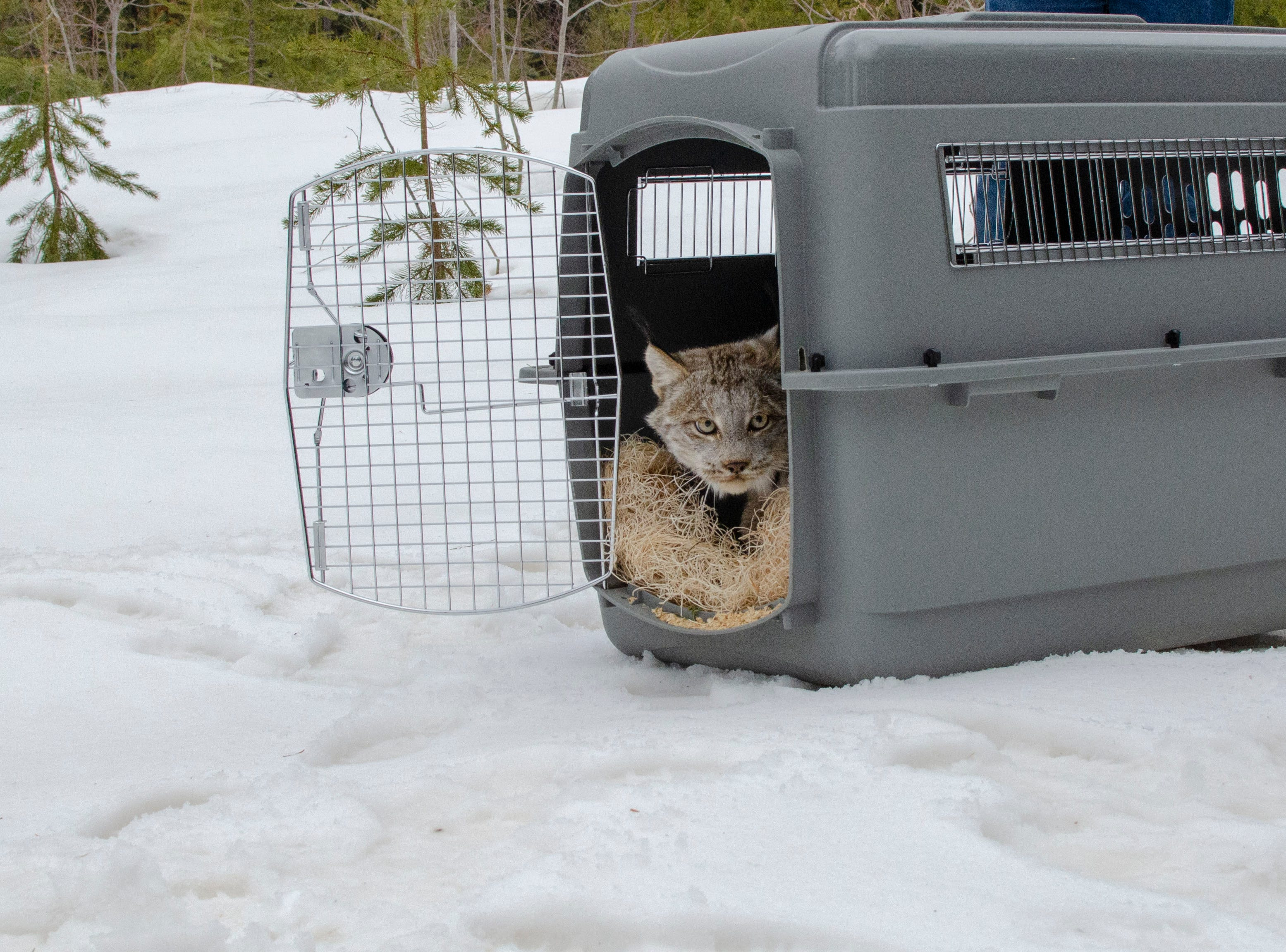 A female lynx looks cautiously outside of her wildlife carrier before trotting off to freedom in Schoolcraft County.