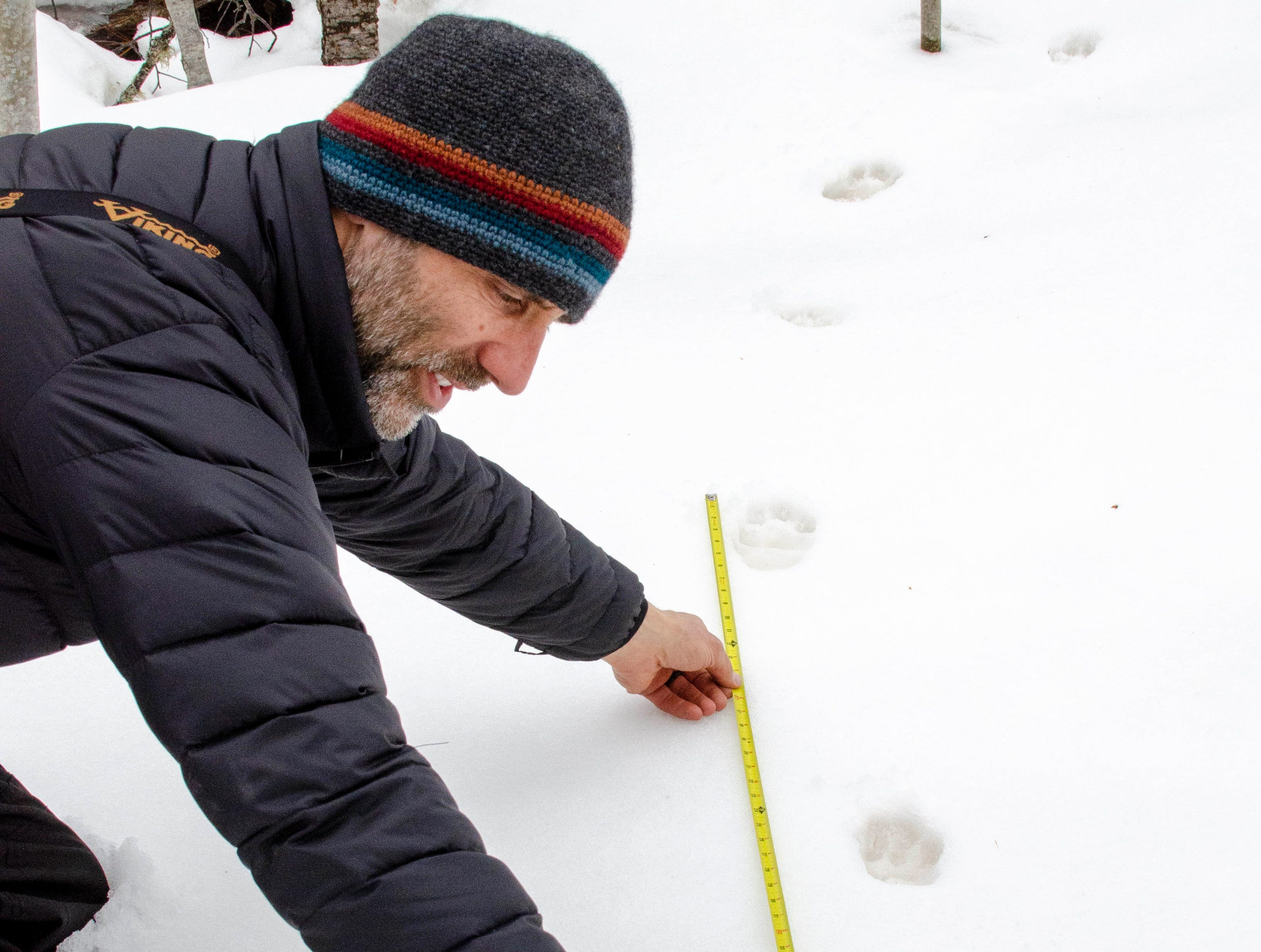 Michigan Department of Natural Resources wildlife biologist John DePue measures the stride of a female Canada lynx released in Schoolcraft County.