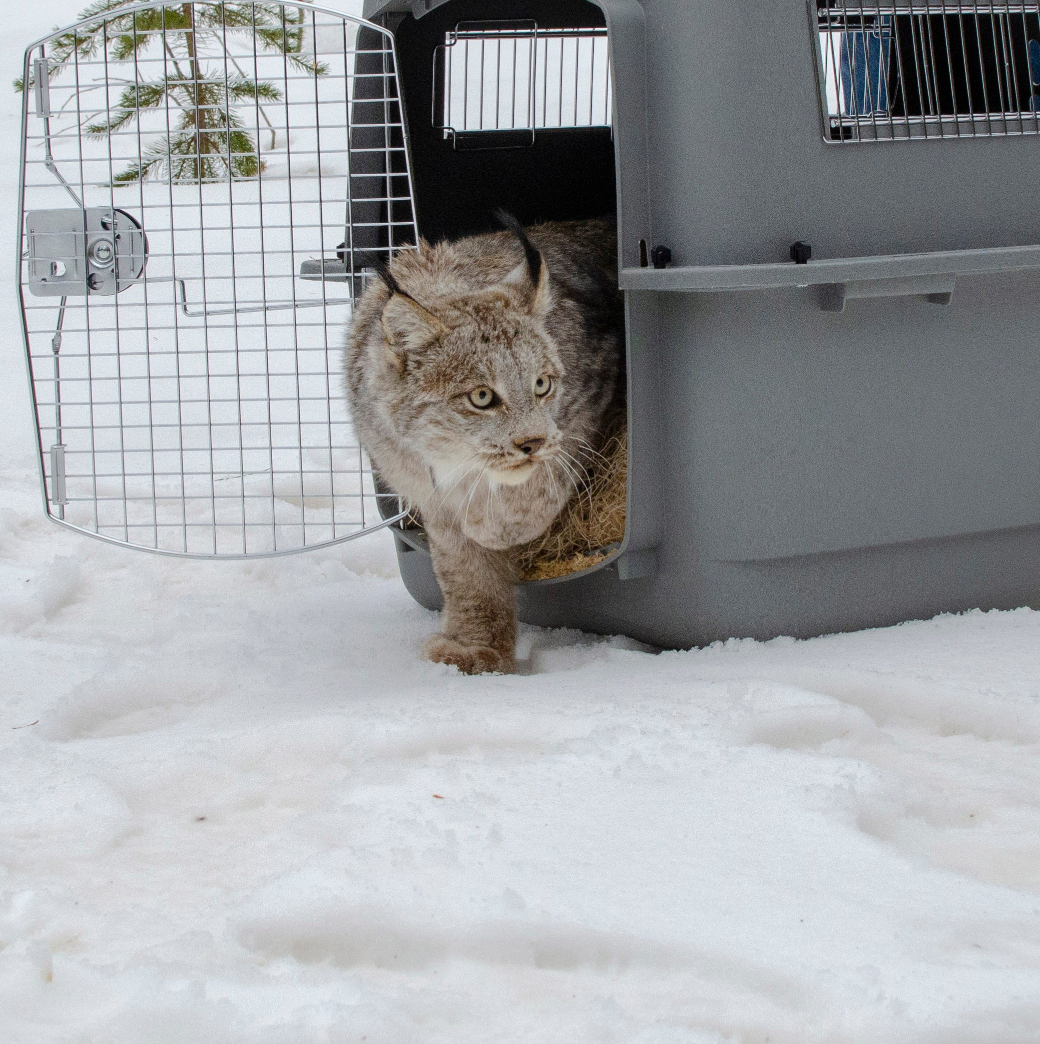WATCH: Lynx captured in the Thumb released in the UP