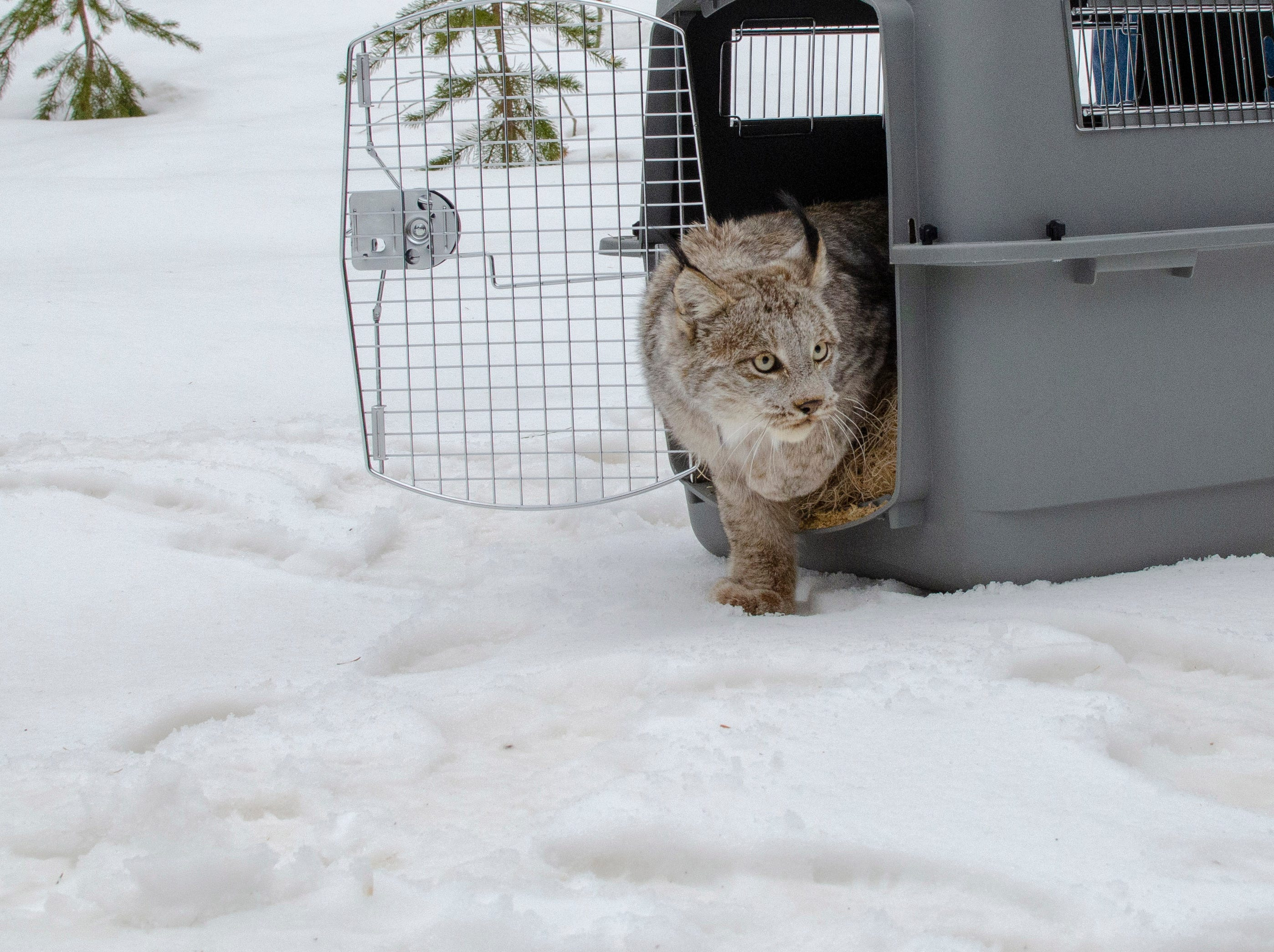 A Canada lynx takes her first step outside a wildlife carrier onto snow-covered ground in Schoolcraft County.