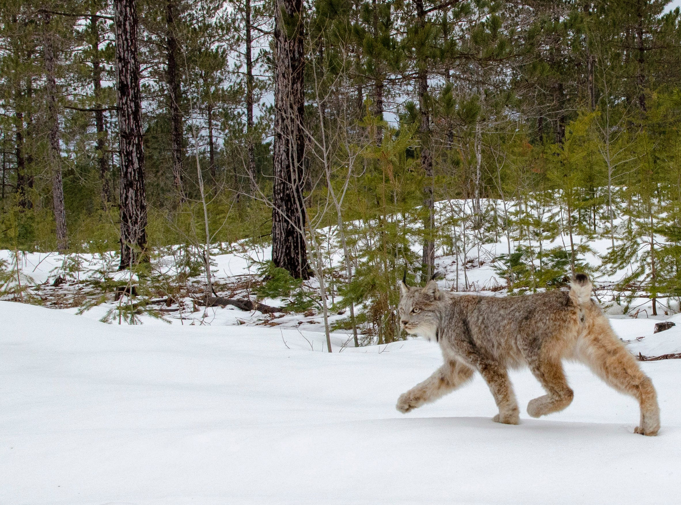 A female Canada lynx walks free into the afternoon air April 12, 2019, in Schoolcraft County.