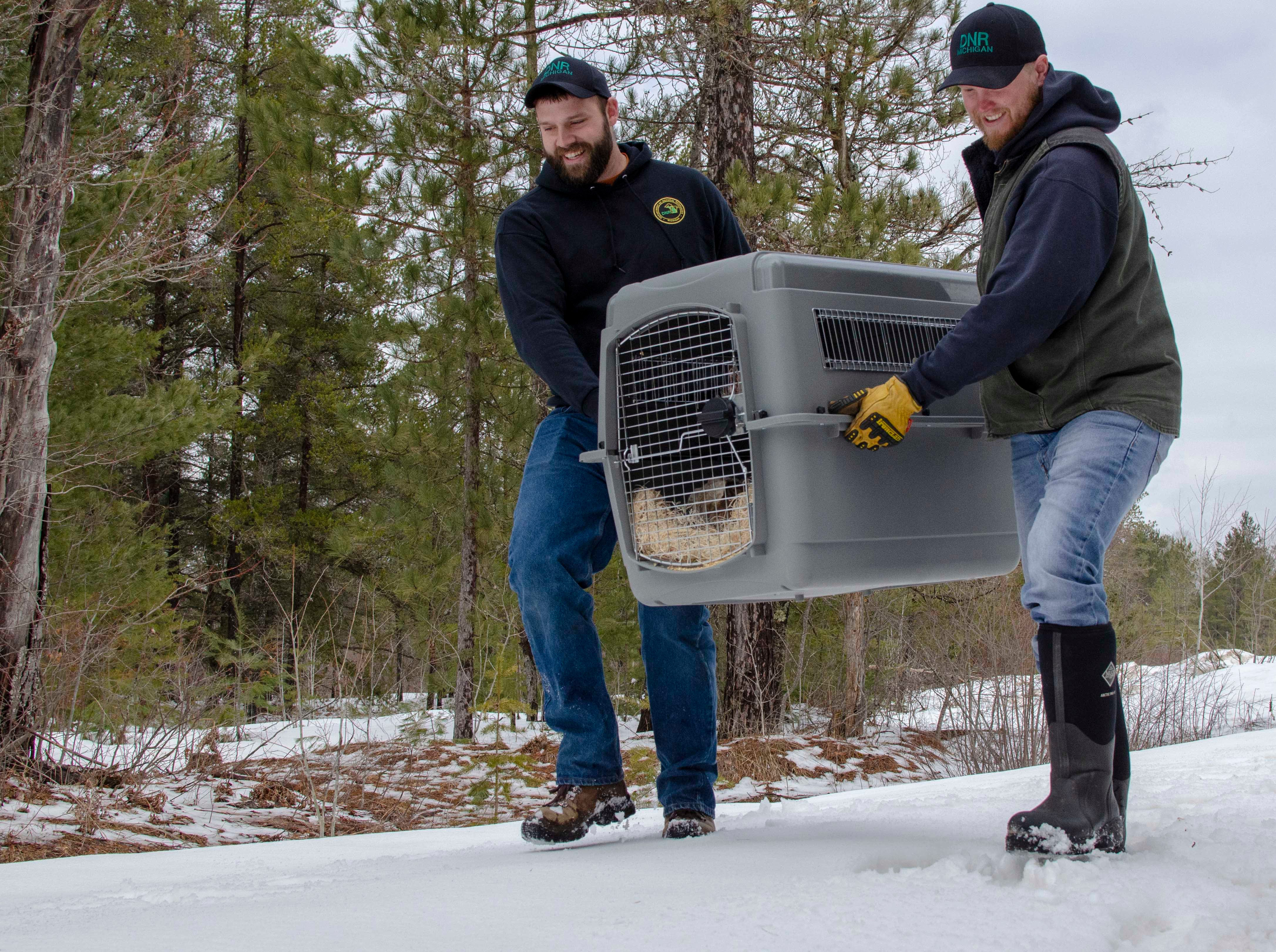 Michigan Department of Natural Resources wildlife biologist Cody Norton, left, and DNR wildlife technician Don Brown bring a Canada lynx from their truck to a release site in Schoolcraft County.