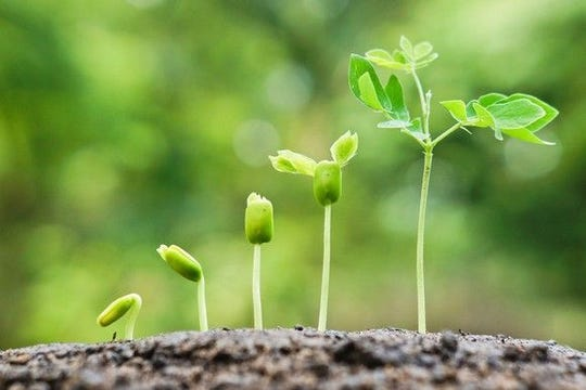 Once your seeds are up, be careful not to harm the seed leaves when watering, thinning or transplanting. If the seed leaves are destroyed or damaged early on, it dooms the plant.