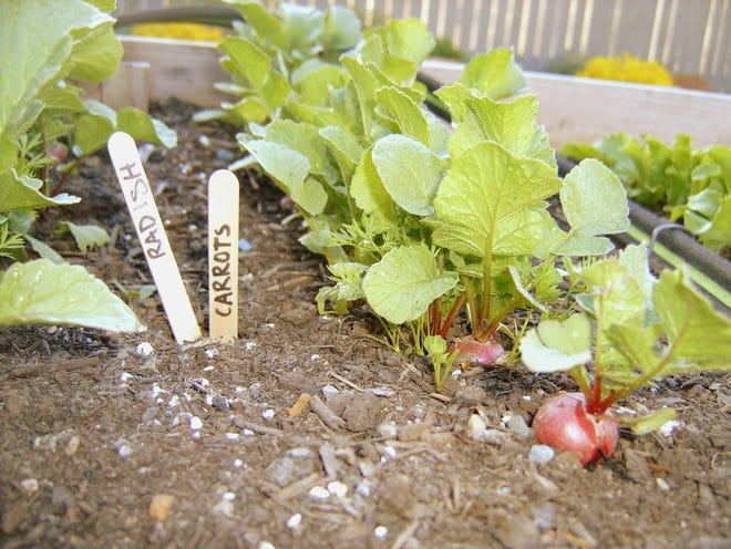 Radishes and carrots are among the many vegetables ideal for planting in October.