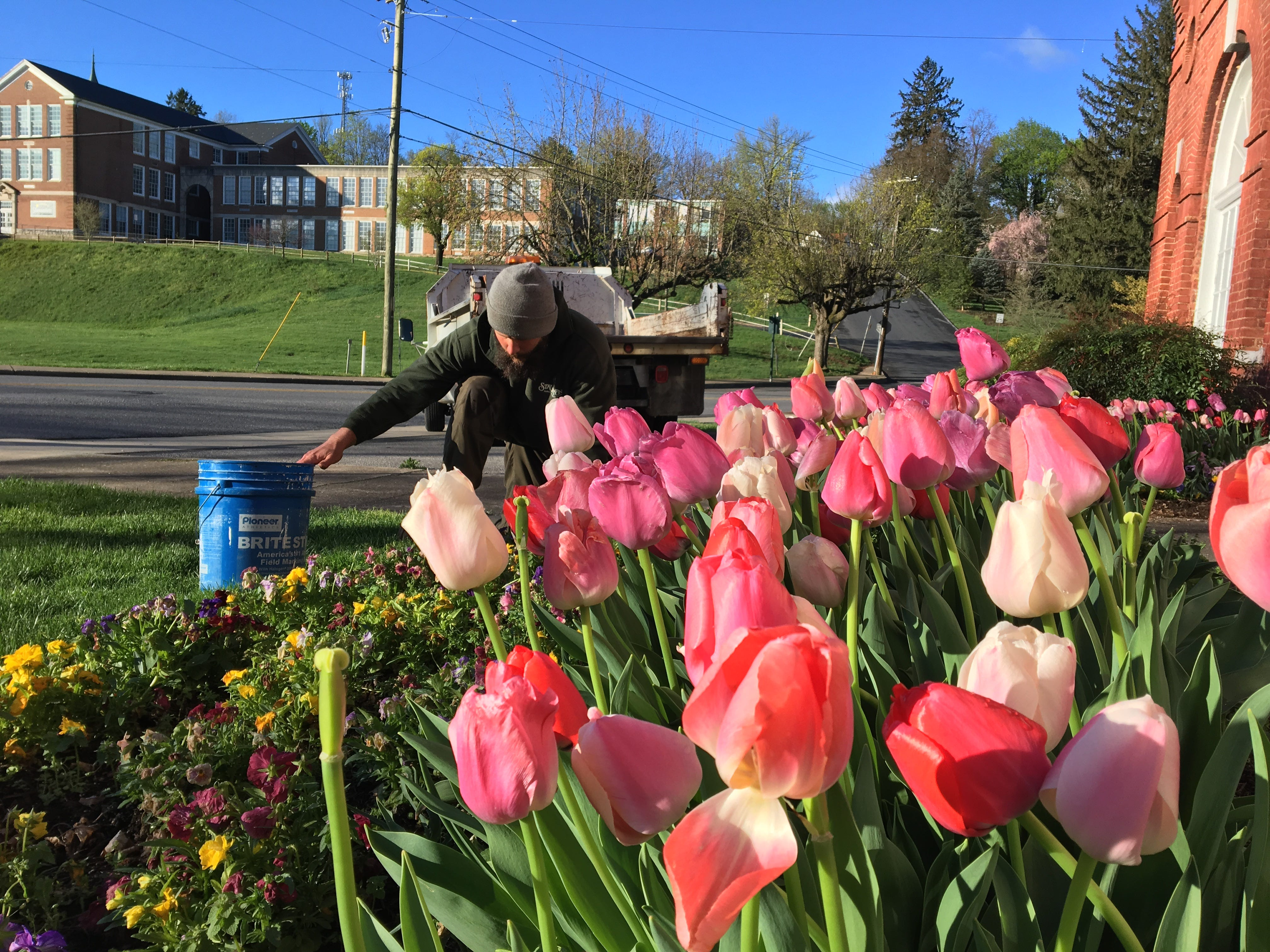 Tulips tend to bloom faster outside of the Stonewall Brigade Band Bandroom because the asphalt makes the soil warmer.