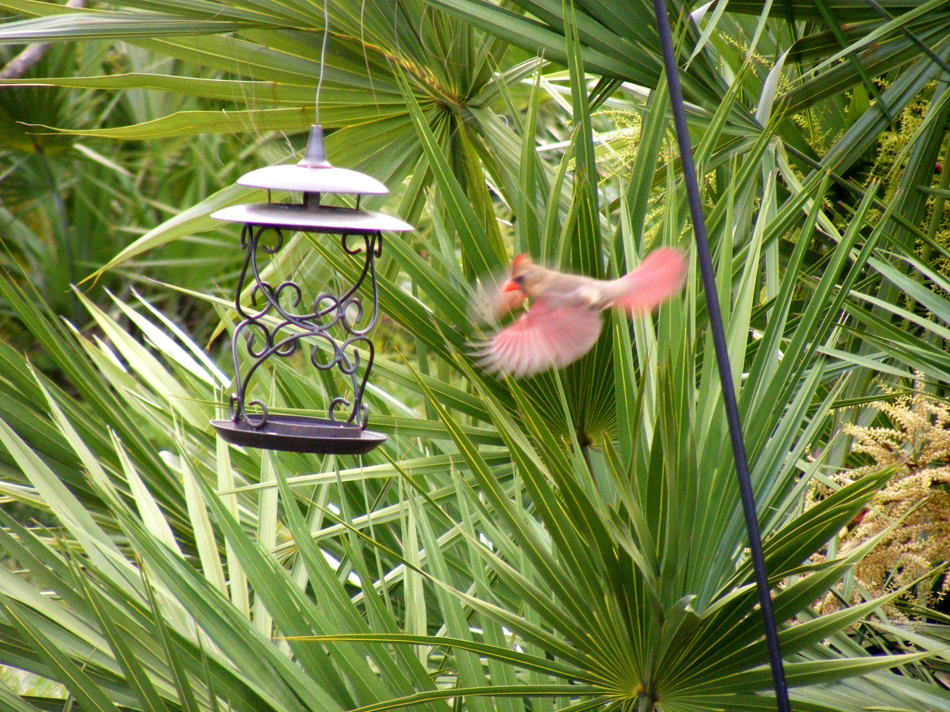 Jean Daly photographed a female cardinal in flight at her bird feeder in Palm City late one recent evening.