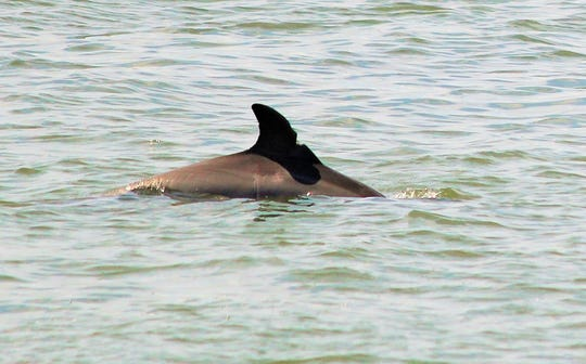 File - A dolphin swims in the Indian River Lagoon near Sebastian
