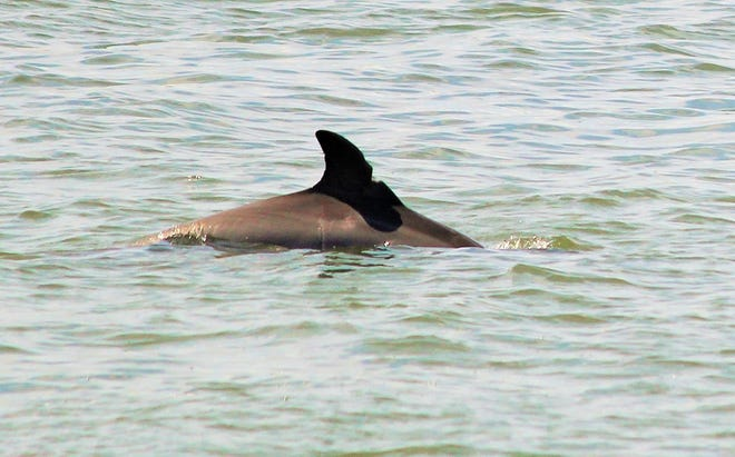 File - A dolphin swims in the Indian River Lagoon near Sebastian