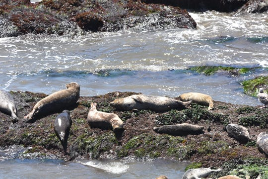 Harbor seals loiter and sleep on a jette at a Caprinteria seal sanctuary.