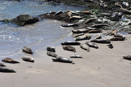 The number of baby and adult seals at a Carpinteria rookery have fallen recently through births are up slightly this year.