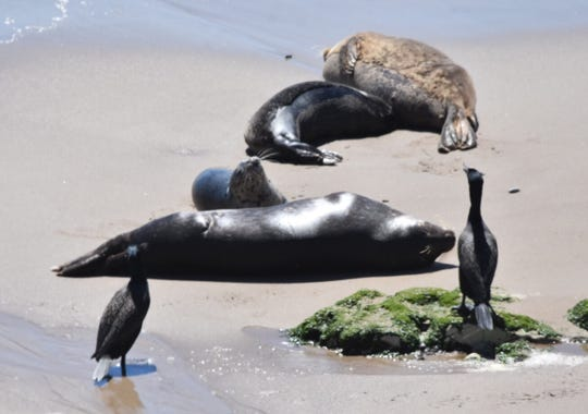 Cormorants watch as seal pups nap and suckle at a Carpinteria rookery.