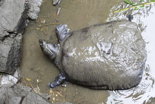 This photo taken on May 6, 2015 shows a female Yangtze giant softshell turtle at Suzhou Zoo in Suzhou in China's eastern Jiangsu province. The world's largest turtle is on the brink of extinction after a female died on April 13, 2019 at Suzhou zoo, leaving behind just three known members of the species.