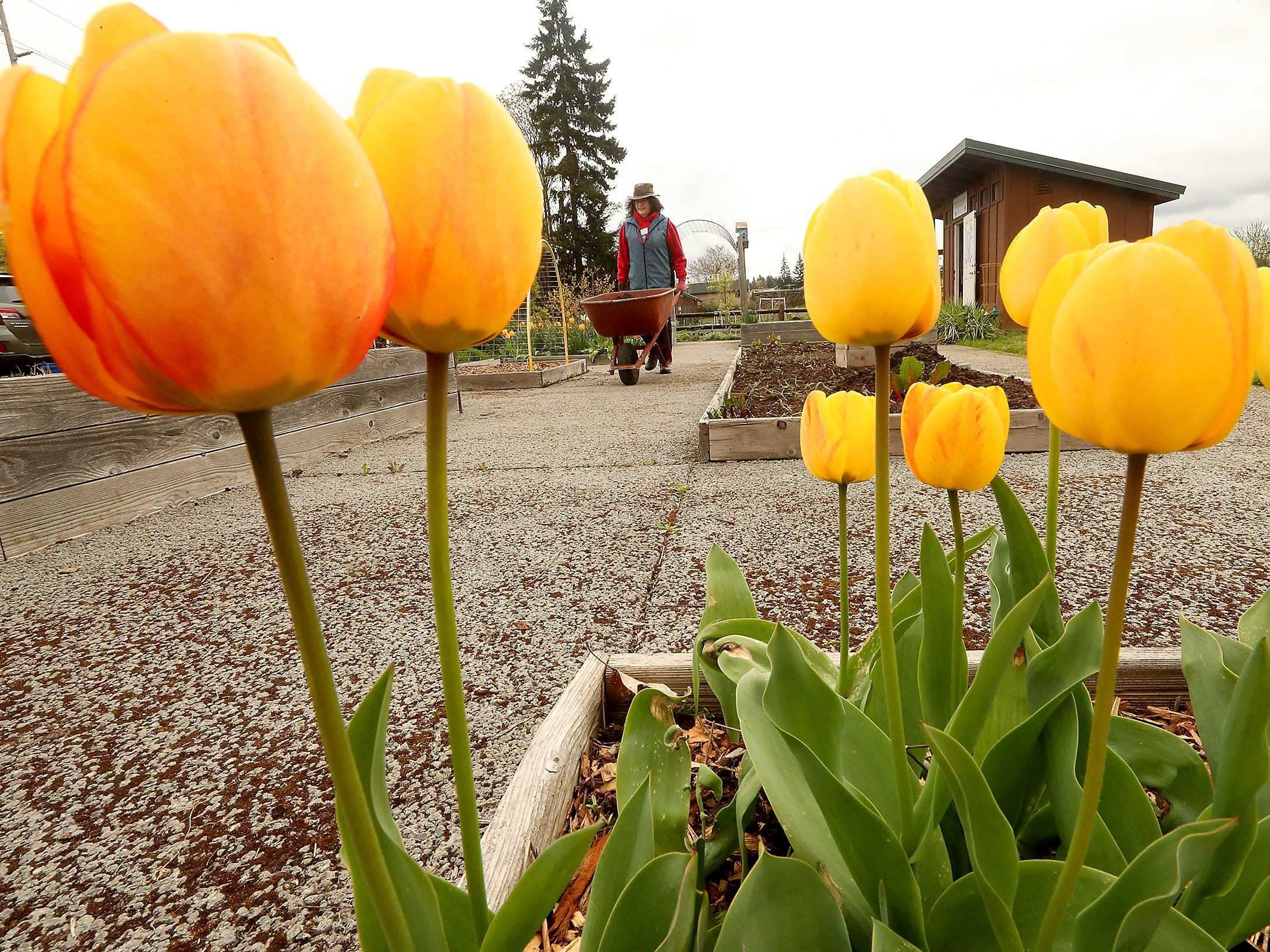 Joanne Crouch , of Olalla, pushes a wheelbarrow of soil past the blooming tulips as she and fellow WSU Kitsap County Extension Master Gardeners get the plant beds ready at Bremerton's Blueberry Park on Tuesday, April 16, 2019.