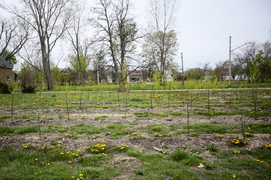 Birch tree sapplings grown in a Hantz Farms lot in the east village neighborhood where Hantz Woodlands are located in east Detroit, photographed on Wednesday, May 4, 2016. Hantz Farms is trying to purchase the remaining city-owned parcels in the area.