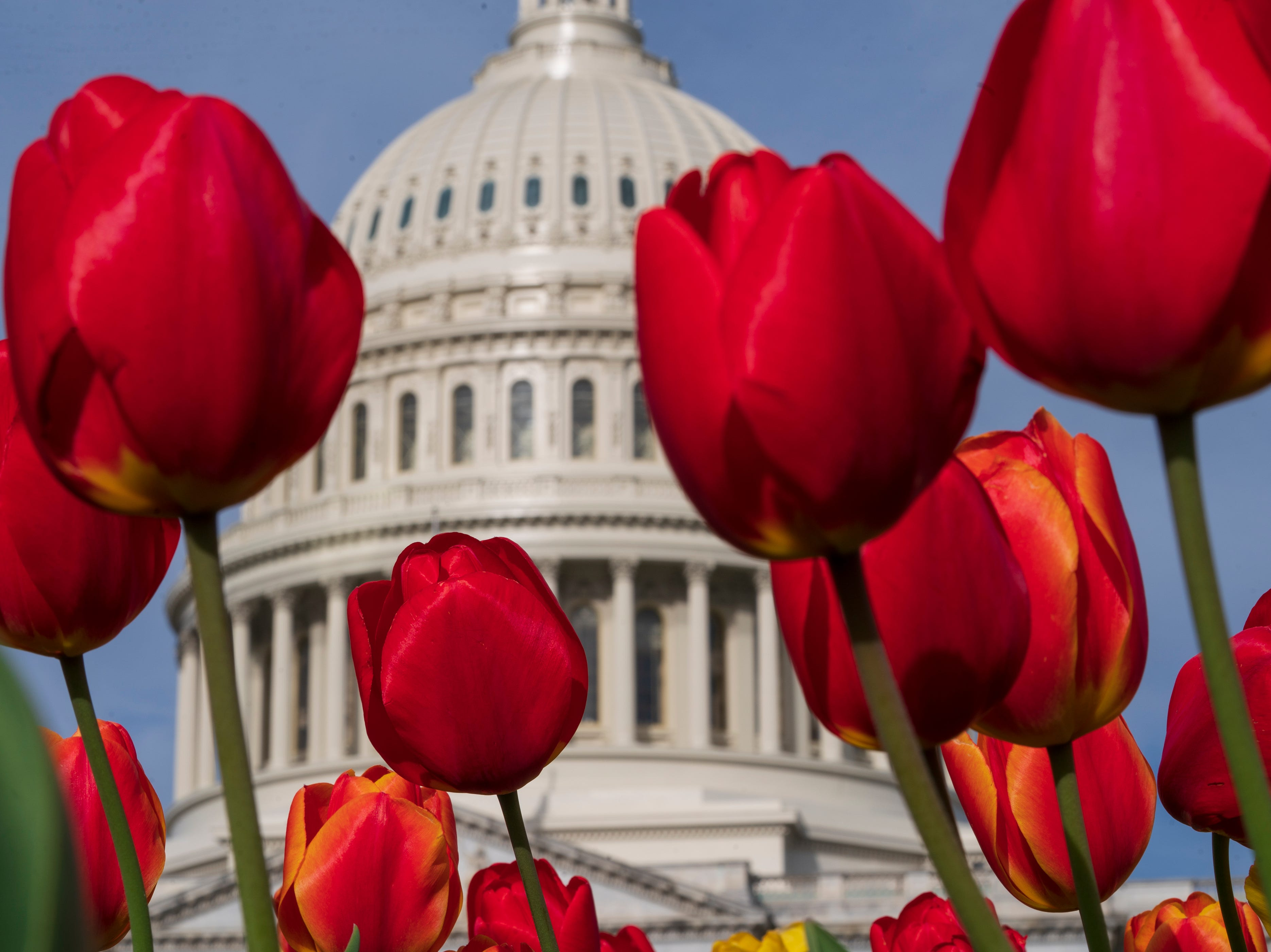 Tulips bloom at the Capitol in Washington, Tuesday, April 16, 2019, as Congress is away on a two week district work period.