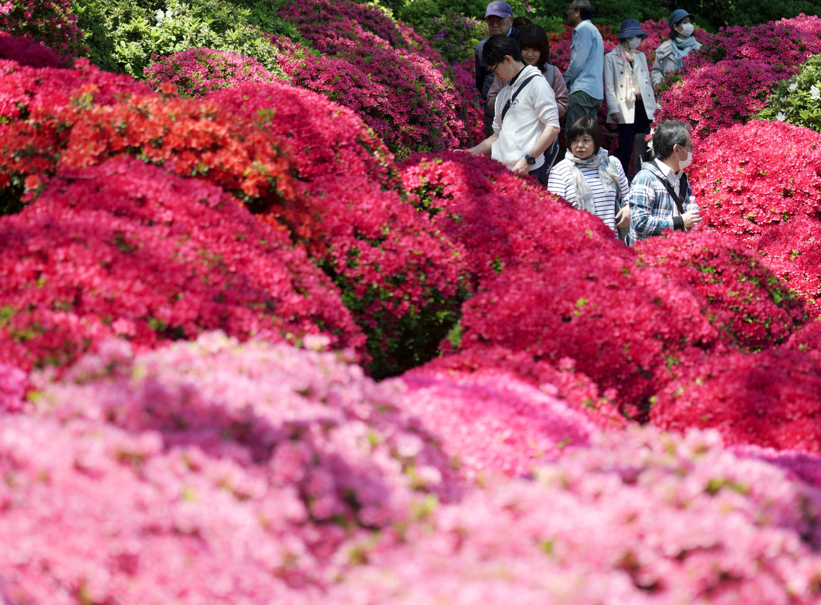 Visitors walk through azalea blossoms at Nezu Shrine during a day of mild spring weather in Tokyo Tuesday, April 16, 2019. Nezu Shrine is one of the oldest shrines in Tokyo.