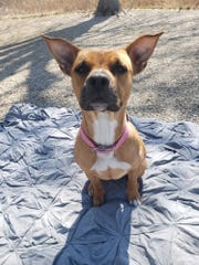 Lola is a one-year-old boxer mix looking for a home.