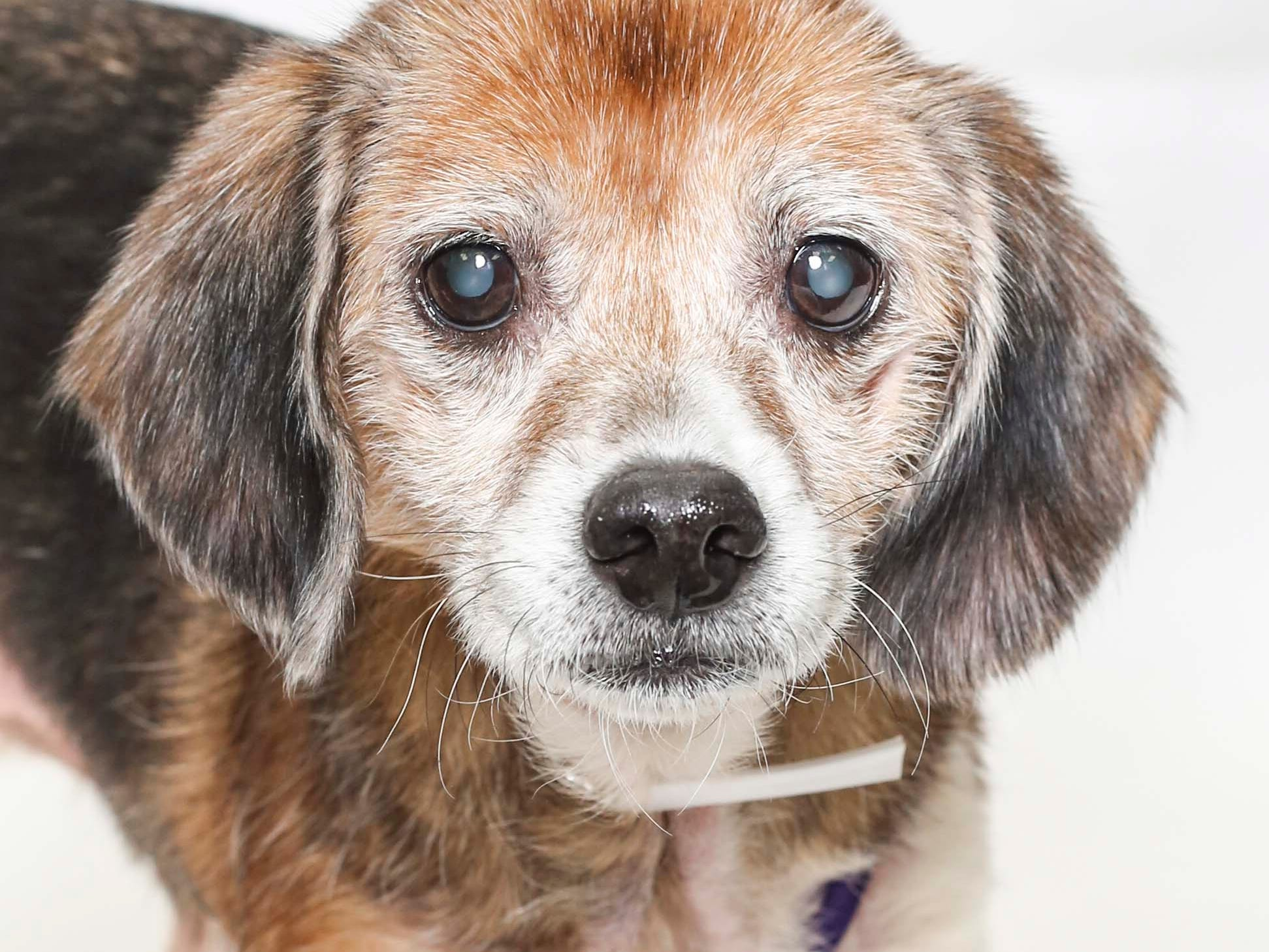 Bailey is a fuzzy, high-spirited, adorable senior dog who deserves to be spoiled and loved for the first time in her life. She's fully vetted and ready to go home today. Naps are her favorite pastime along with eating as a hobby. Info: young-williams.org