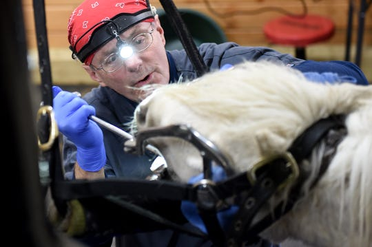 Veterinarian Jeff Reiswig inspects the teeth of miniature horse, Hercules, during an appointment at his practice Equine Veterinary Dental Services.