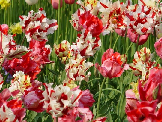 Three varieties of parrots: red, red and white, red and yellow are blended into this massed planting.