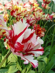 Frilled edges, a strange shape and twisted petals plus red striping make this an exquisite flower.