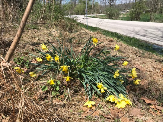 Drive around the region, and you'll spot bunches of daffodils by the roadside. They could have gotten there in a couple different ways.
