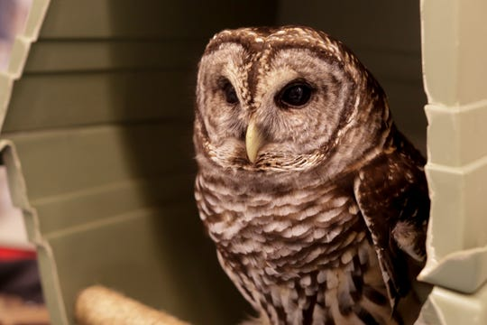 A barred owl from the Tallahassee Museum visited the Capitol rotunda during Science, Technology, Engineering and Math (STEM) Day Tuesday, April 16, 2019.