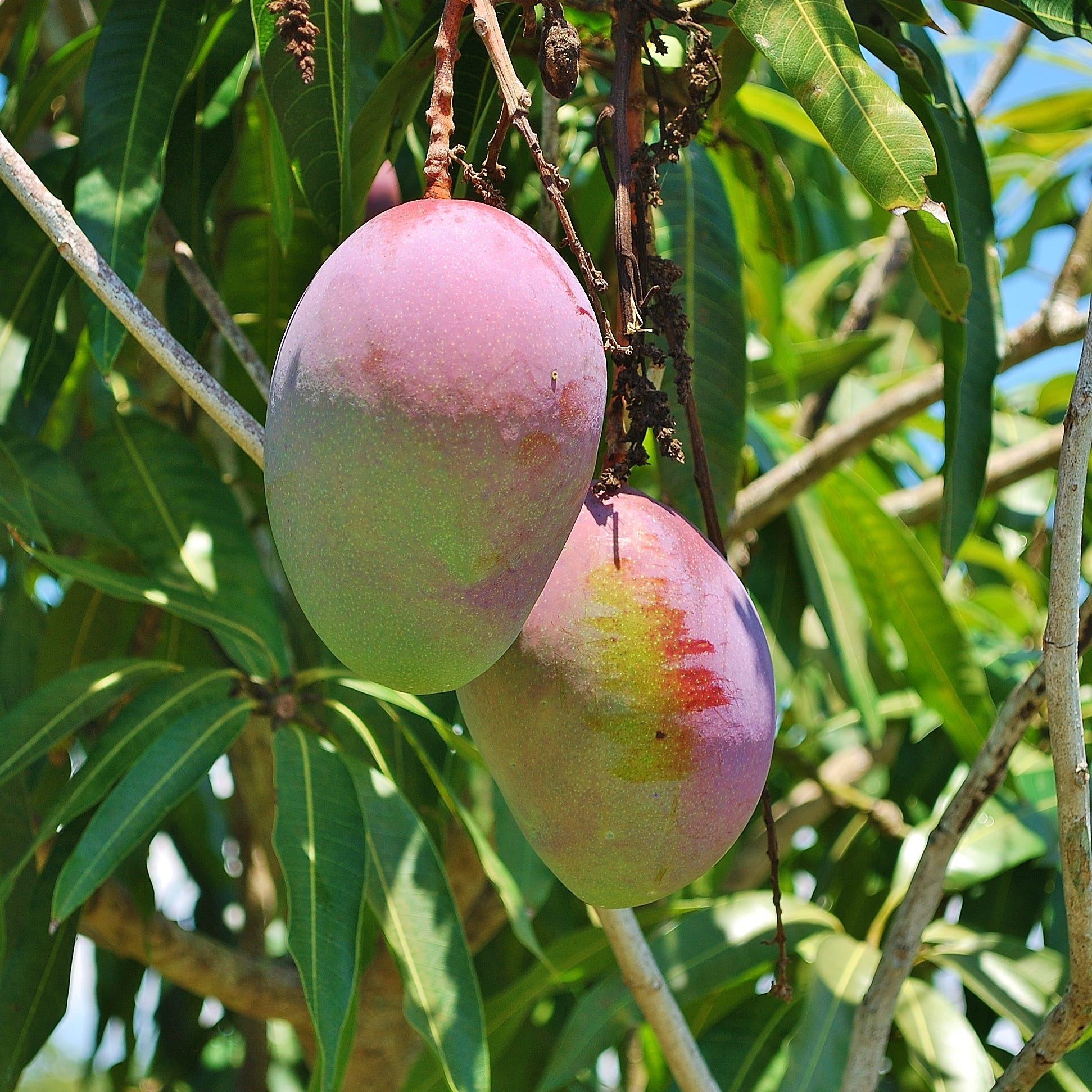Yard doc: What's going on when mango tree doesn't yield any fruit?