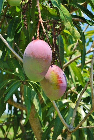 Many mango varieties bloom December through April along the Treasure Coast for luscious fruit in the summer. Choose cultivars for the home orchard which are resistant to the disease anthracnose for best fruit production.