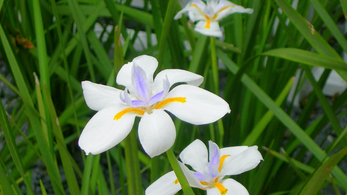 African Iris Blooms Welcome Spring In