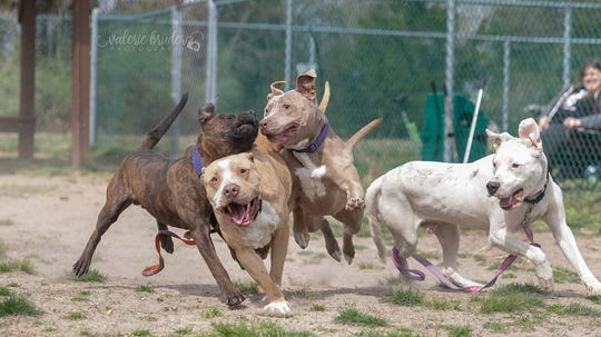 Dogs socialize and play in groups under new program at South Jersey Regional Animal Shelter.