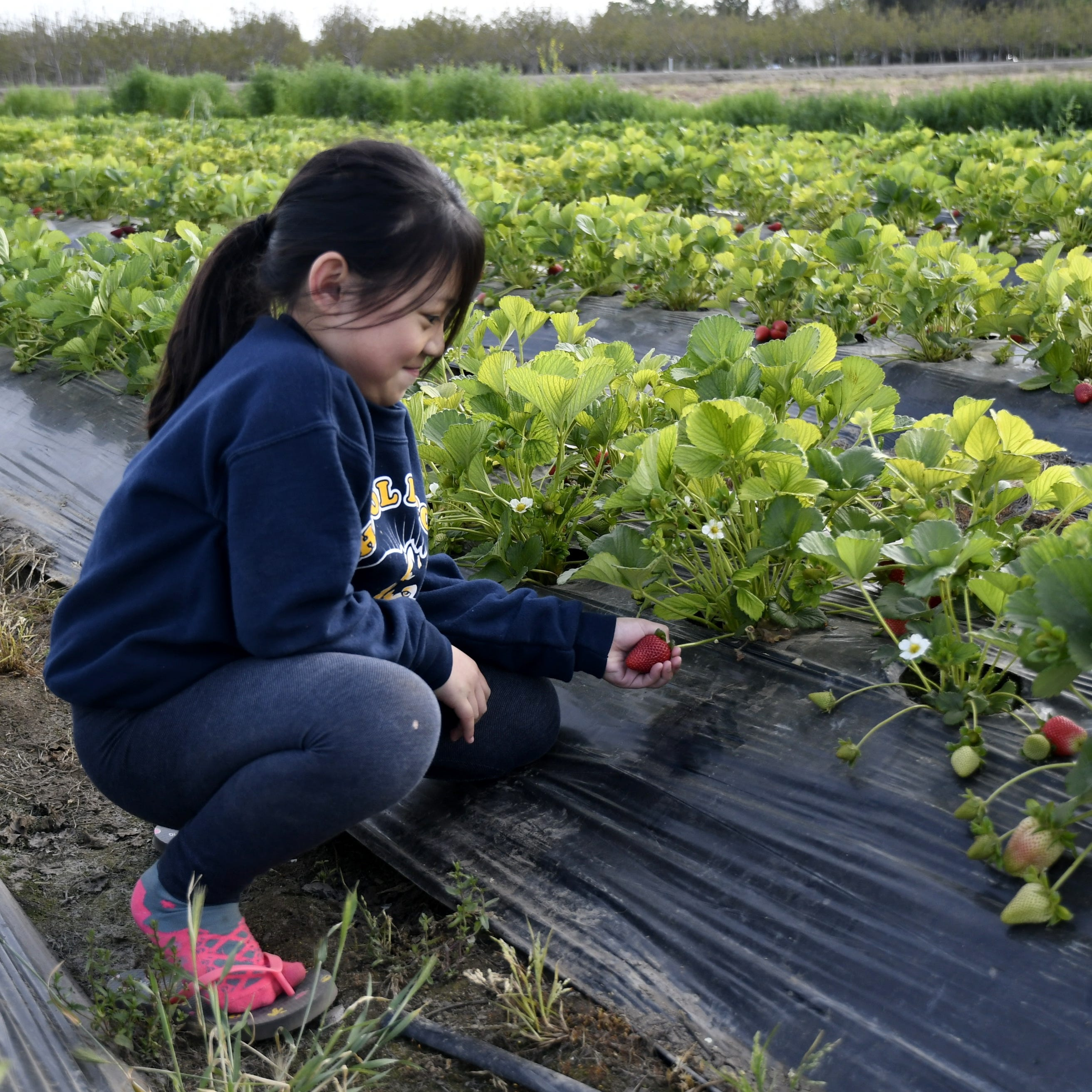 Valley residents rejoice, strawberry season is here