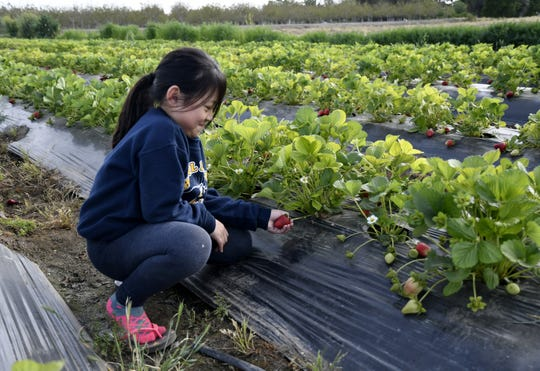 Khloe Sae Chao, 7, picks a strawberry on her father's farm in Visalia on Monday, April 15, 2019.