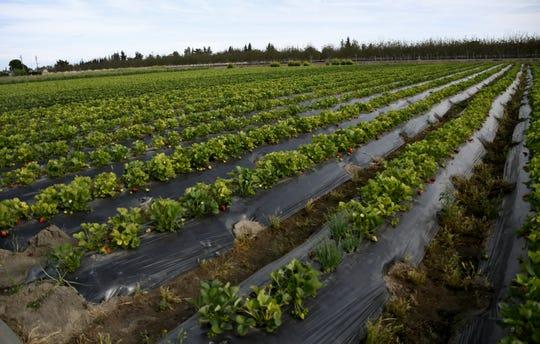 Jim Kay Chao's strawberry farm on Monday, April 15, 2019.
