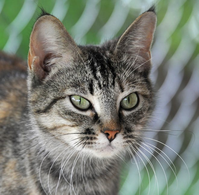 Nala is a 1-year-old, Domestic Short hair, female that is looking for her forever home. She is spayed, chipped and ready to go. You can find Nala and her friends at the Humane Society of Wichita County located at 4360 Old Iowa Park Rd.