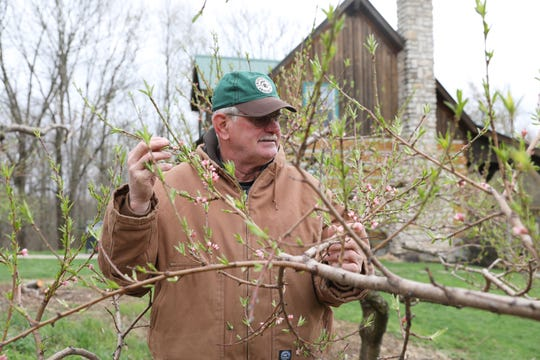 Bill Thomas looks at a peach tree on the Thomas Family Orchard near Stovertown. The orchard grows a variety of apples, peaches, plums and grapes.