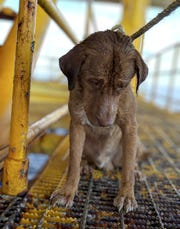 A dog sits on an oil rig after being rescued in the Gulf of Thailand. The dog found swimming more than 135 miles from shore by an oil rig crew in the Gulf of Thailand
