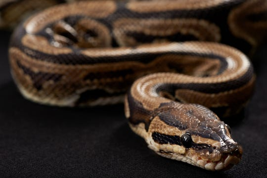Burmese Python against a black background