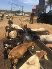 Goats drink from a trough filled with water from the new well.