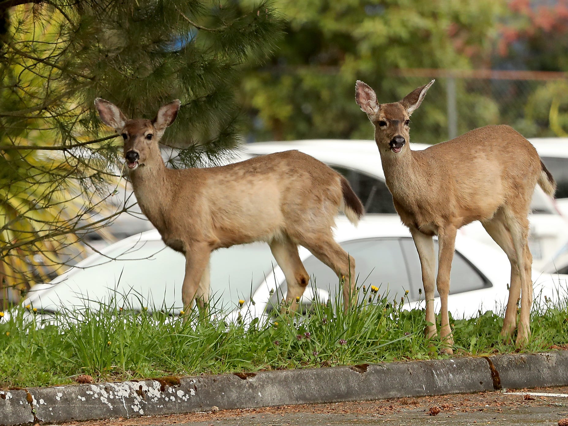 A pair of deer graze along the parking lot of Sylvan Way Baptist Church in Bremerton on Tuesday, April 16, 2019.