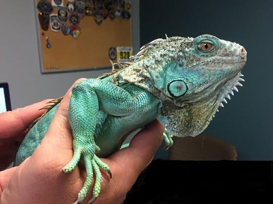 Photo provided by Painesville police shows an officer holding the iguana at the police station on Tuesday.