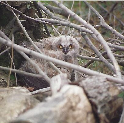 Wilhelm: It's a great year for owl watching
