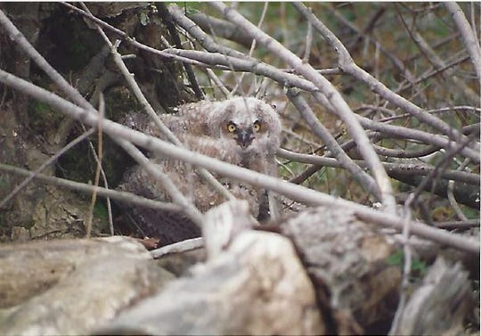 Great horned owls have found a winter-spring home in the hollowed out top of giant sycamore tree across Muskellunge Creek from the Wilhelm house annually.