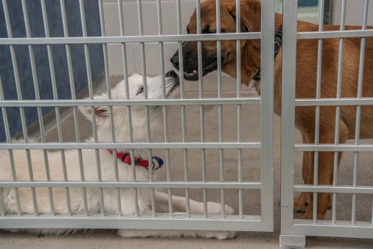 Puppies Max and Lady play in a holding area at the Larimer Humane Society on Tuesday, April 16, 2019, in Loveland, Colo.  The two dogs were brought to the Humane Society's intake center as strays.