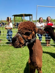 Visitors of Peach Creek Vineyards in College Station, Texas, could drink wine and take photos with alpacas at an event Sunday, April 14, in conjunction with Bluebonnet Hills Alpaca Ranch.