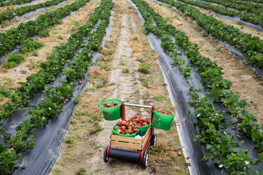 April 17, 2019 - A wagon is used to hold buckets of fresh picked strawberries at the Jones Orchard U-Pick Strawberry Field at Agricenter International on Wednesday.